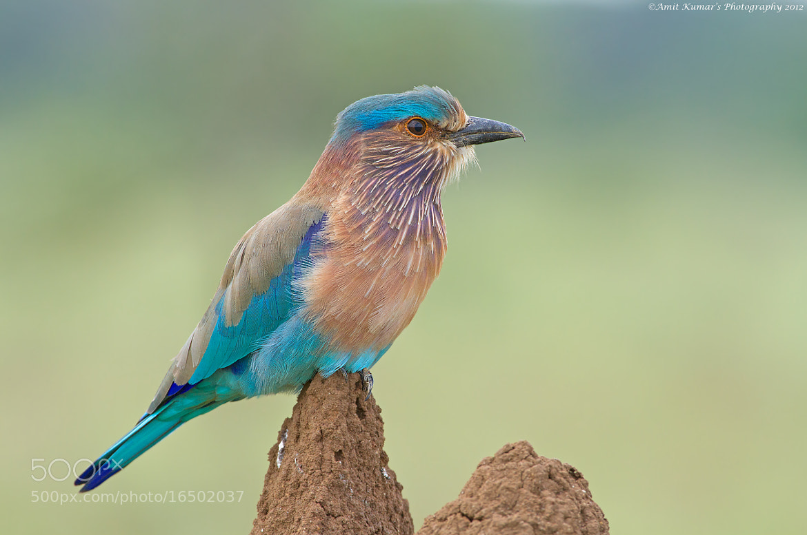 Photograph Indian Roller by Amit Kumar on 500px