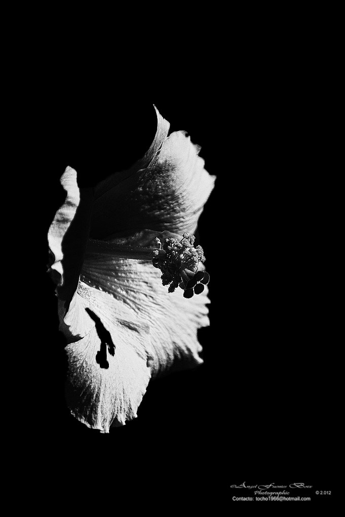 Photograph Hibisco en blanco y negro by Angel Fuentes Boix on 500px