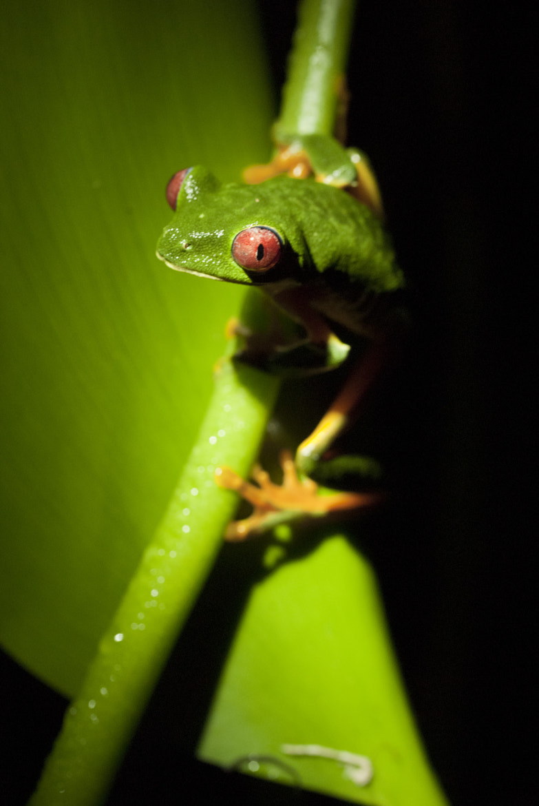 Photograph Red Eyed Tree Frog by Jordan Hoffman on 500px