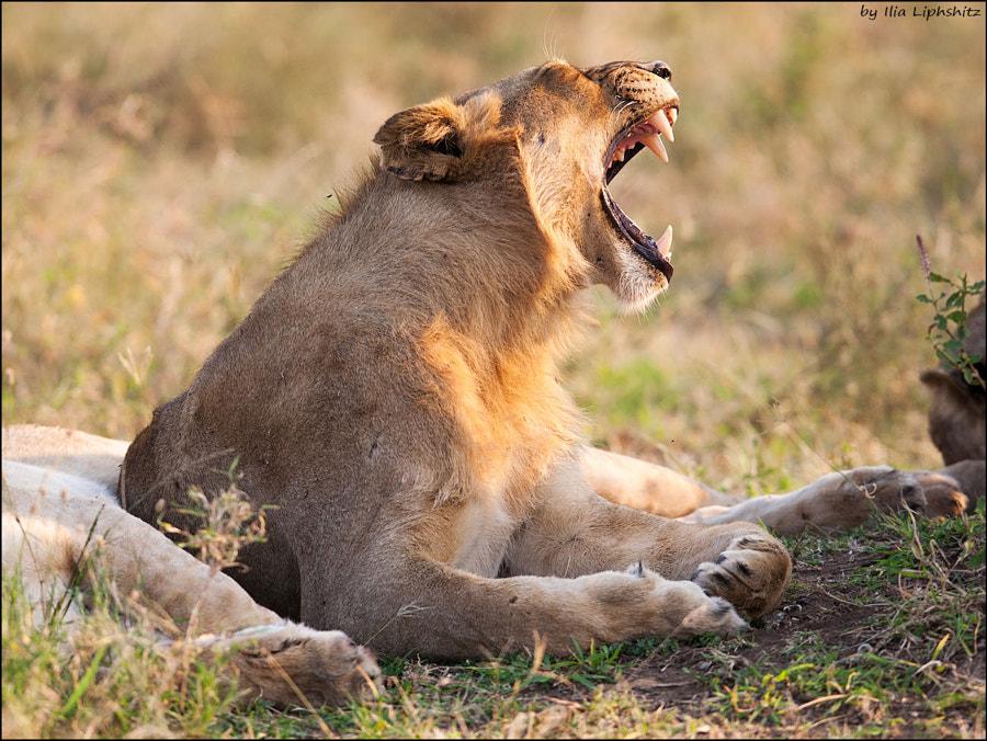 Lions of Serengeti №7
