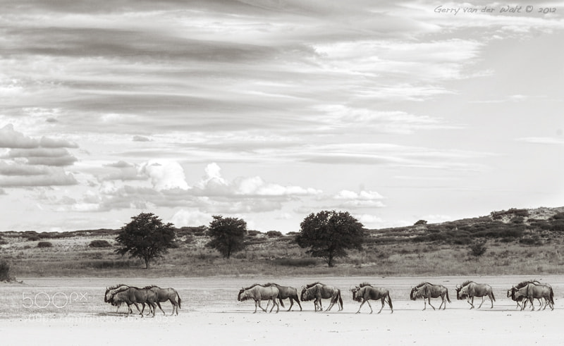 Photograph Kgalagadi Moment by Gerry Van der Walt on 500px