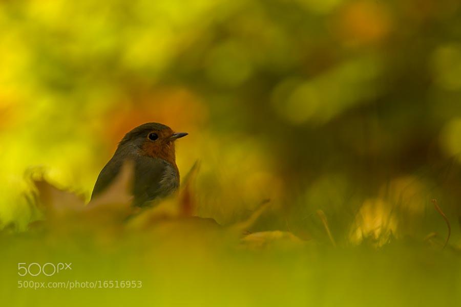 Photograph Autumn Robin by David Barnes on 500px