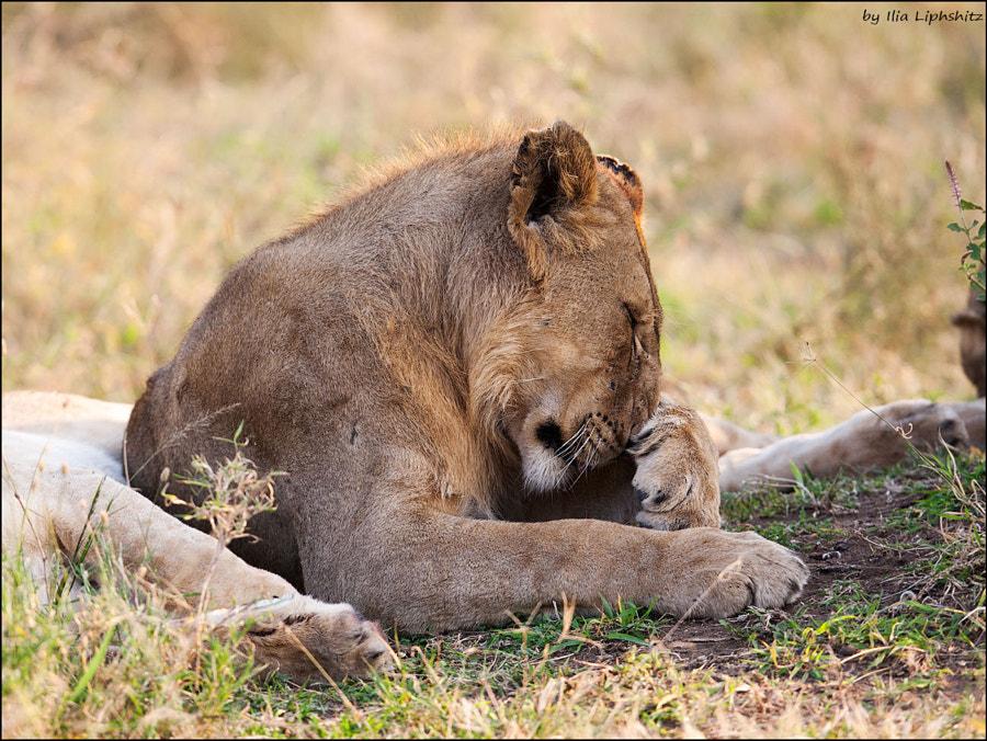 Lions of Serengeti №8