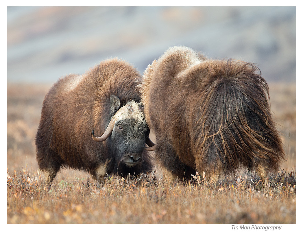 Photograph Muskox Head to Head by Tin Man on 500px