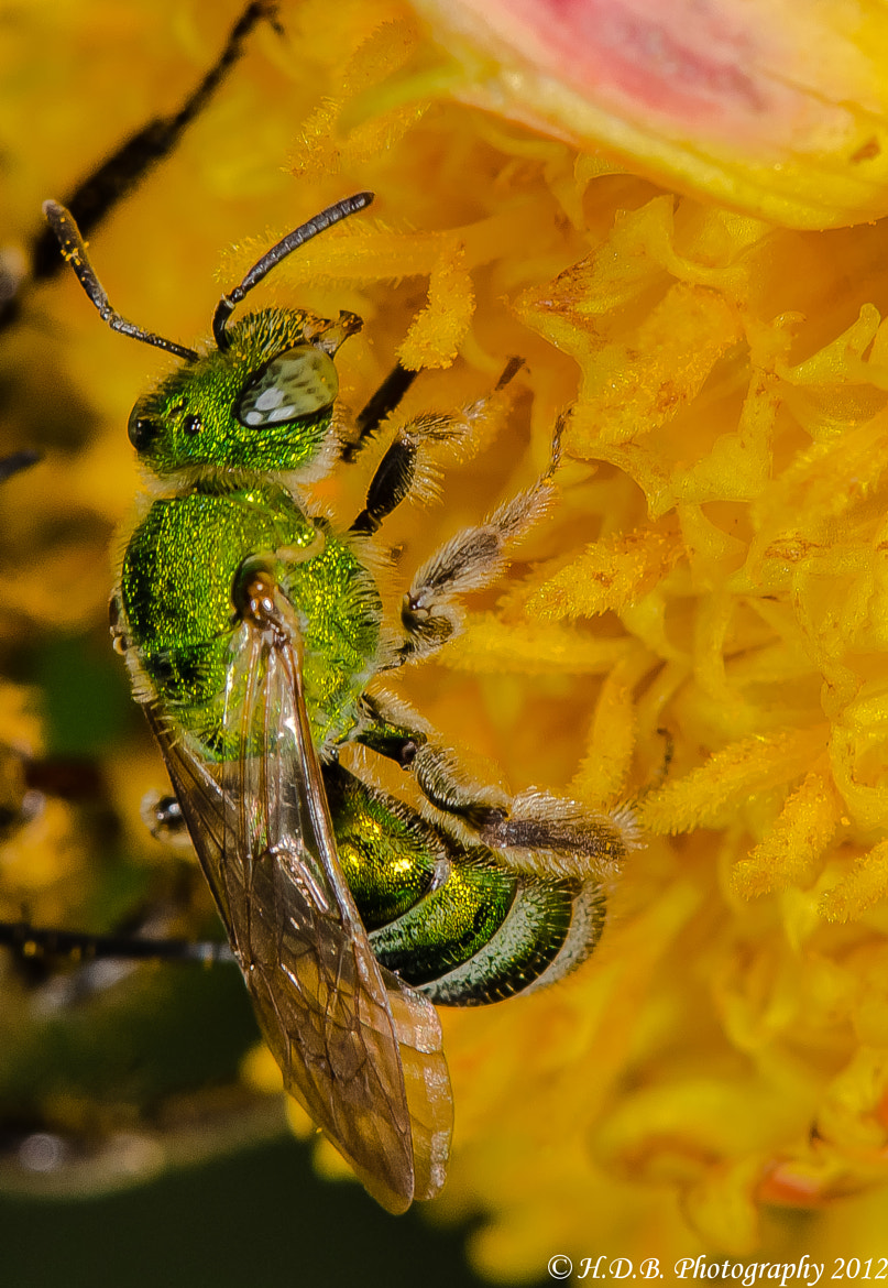 Photograph Green Bee by Harold Begun on 500px