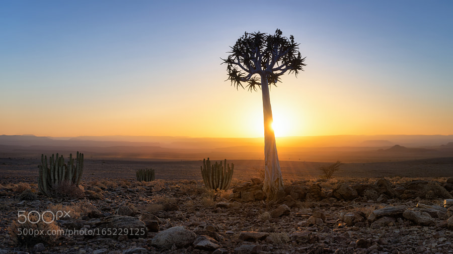 Quiver Tree to sunset