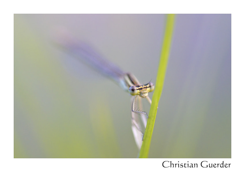 Photograph Damselfly by CHRISTIAN GUERDER on 500px