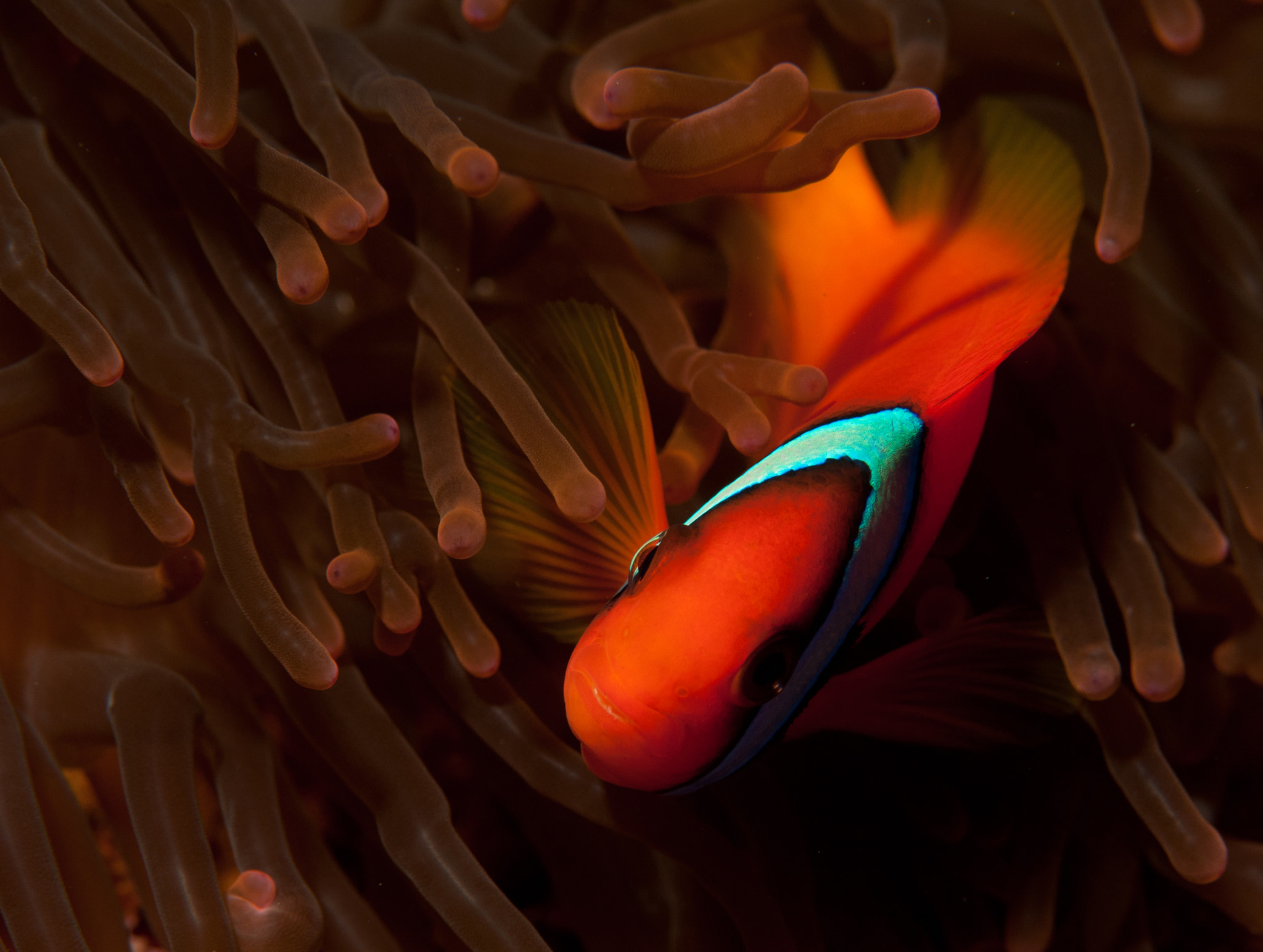 Photograph Tomato anemonefish, Amphiprion frenatus by Shawn  Miller on 500px