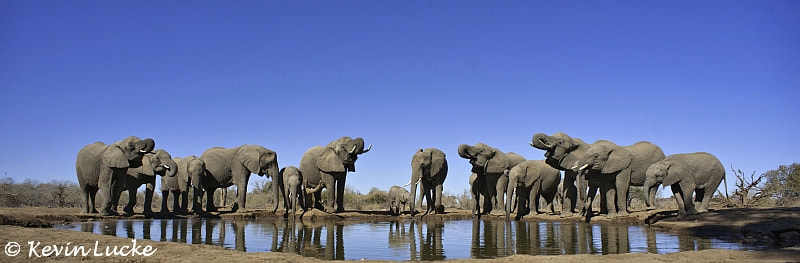 Photograph Drinking Elephants by Kevin Lucke on 500px