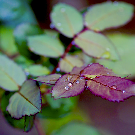 Leaves and Drops XII, Sony ILCE-3000, Sigma 60mm F2.8 DN