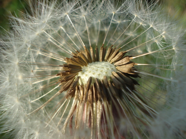 Photograph dandelions, kites, wind... by Joanna G. on 500px