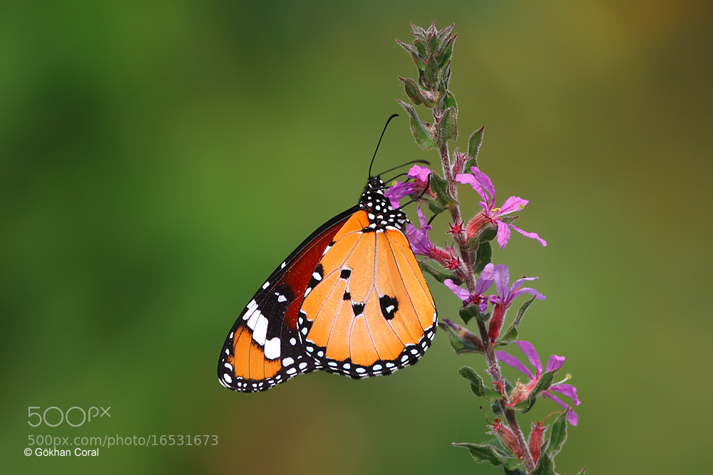 Photograph Danaus by Gökhan CORAL on 500px