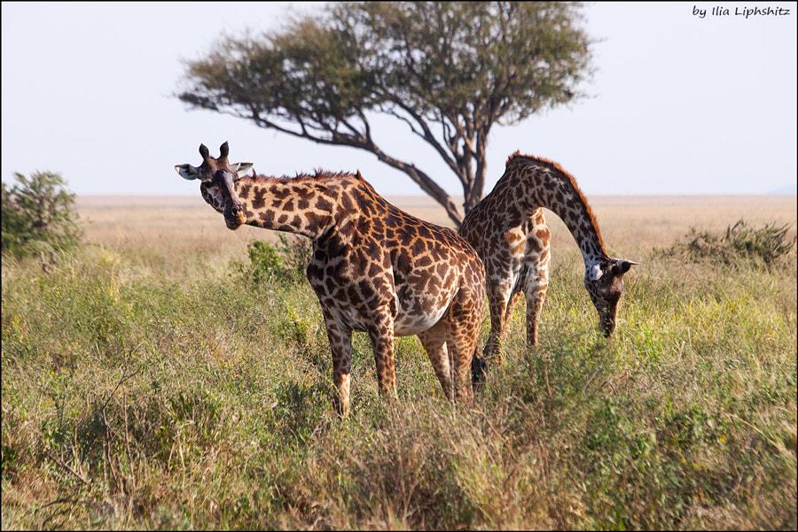 Giraffes of Serengeti №1
