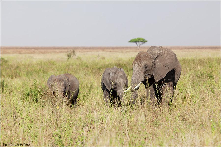 Elephants of Serengeti №1