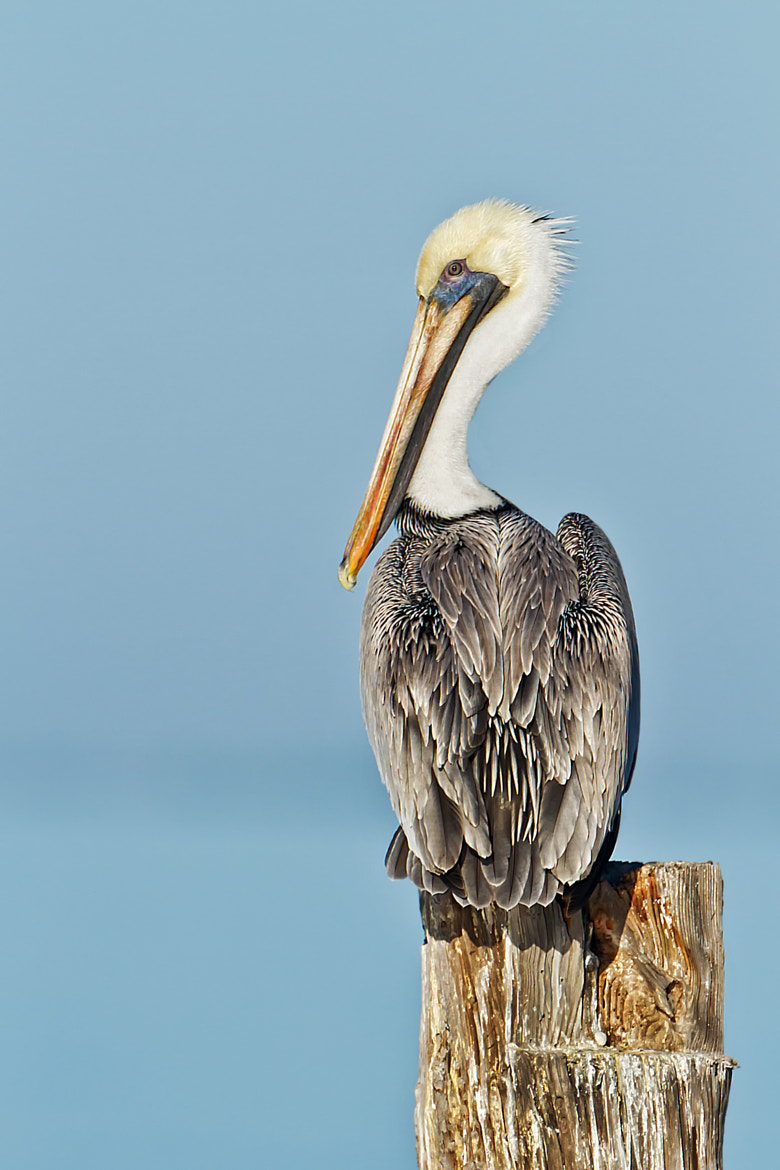 Photograph Pelican Perch by Scott Evers on 500px