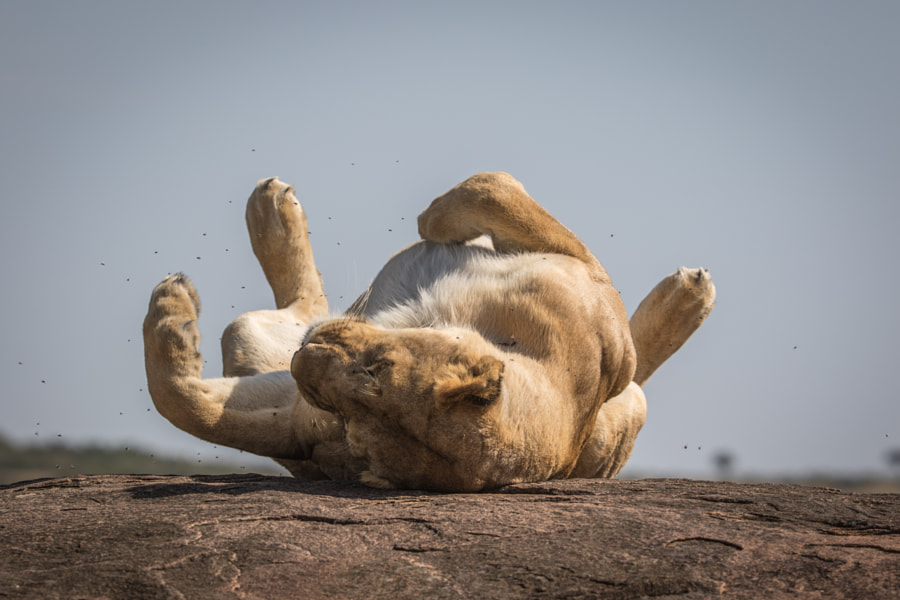 Kenyan Lioness