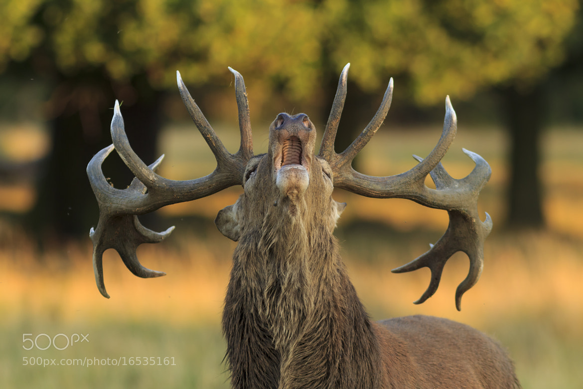 Photograph Red Deer Stag by Robert Kelly on 500px
