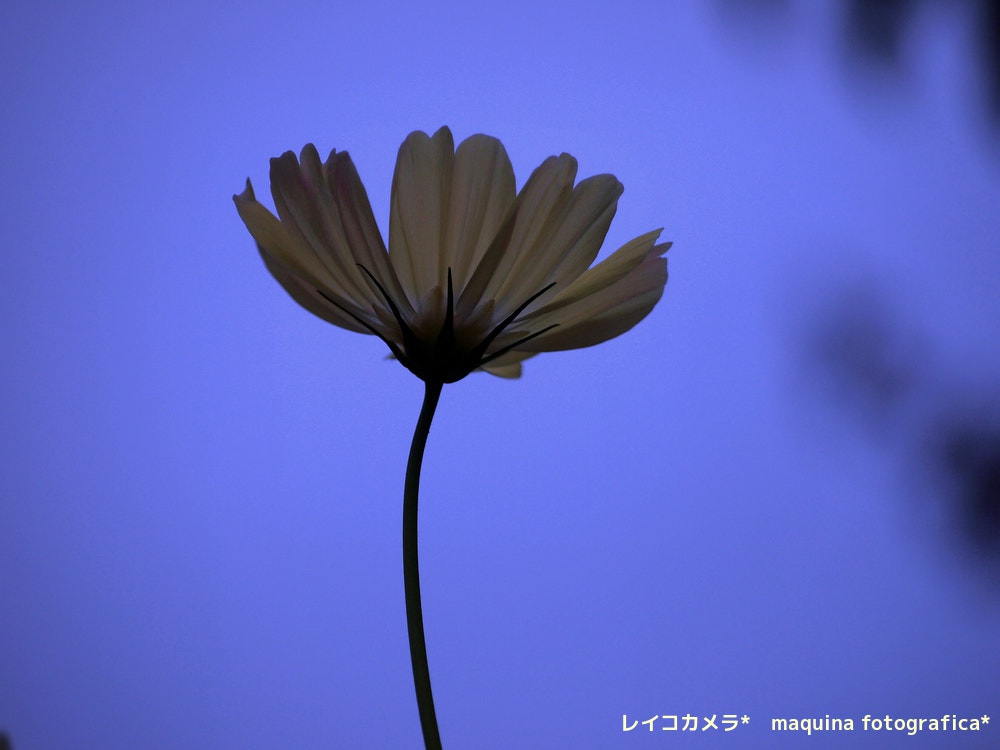 Photograph Wind and cosmos by Reico  on 500px