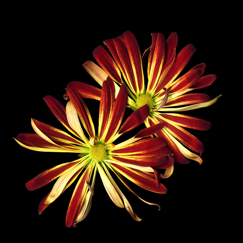 Photograph FLAMING CHRYSANTHEMUMS... by Magda Indigo on 500px