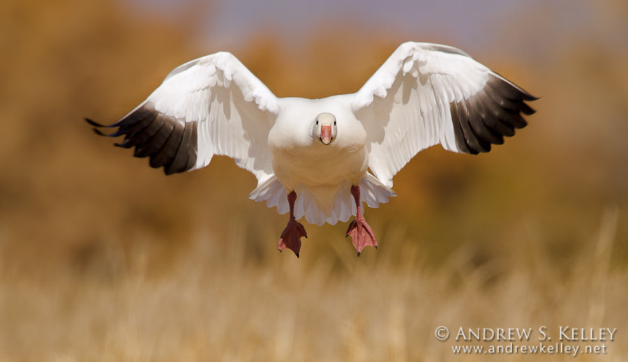 Photograph Snow Goose by Andrew Kelley on 500px