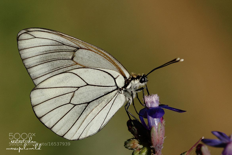 Photograph Black-veined White (Aporia crataegi) by Sertac Turhan on 500px