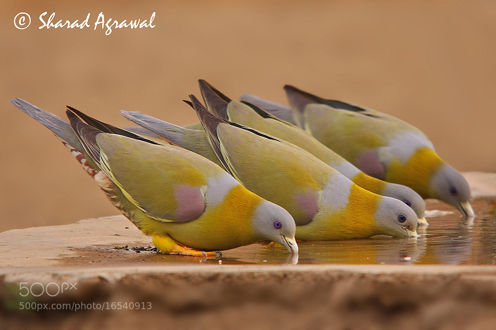 Photograph Yellow-footed Green Pigeon by Sharad Agrawal on 500px
