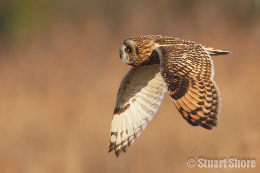 Photograph 'Passing' Short Eared Owl by Stuart Shore on 500px