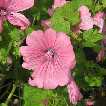 Pink flowers in the, Canon POWERSHOT A470