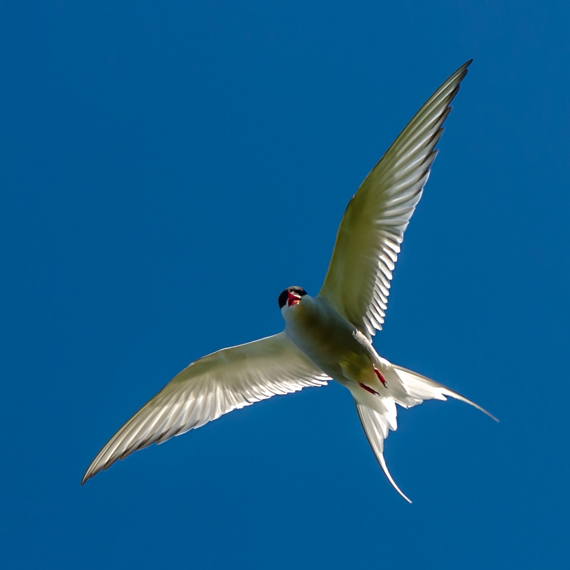 Photograph Artic tern by jorgen norgaard on 500px