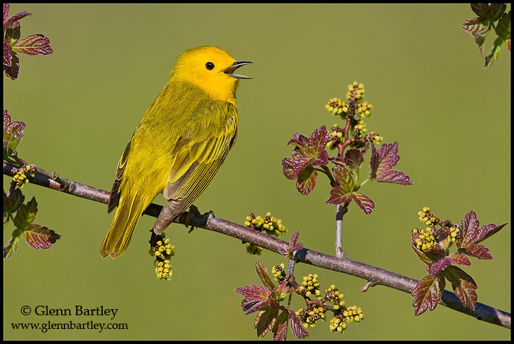 Photograph Yellow Warbler by Glenn Bartley on 500px