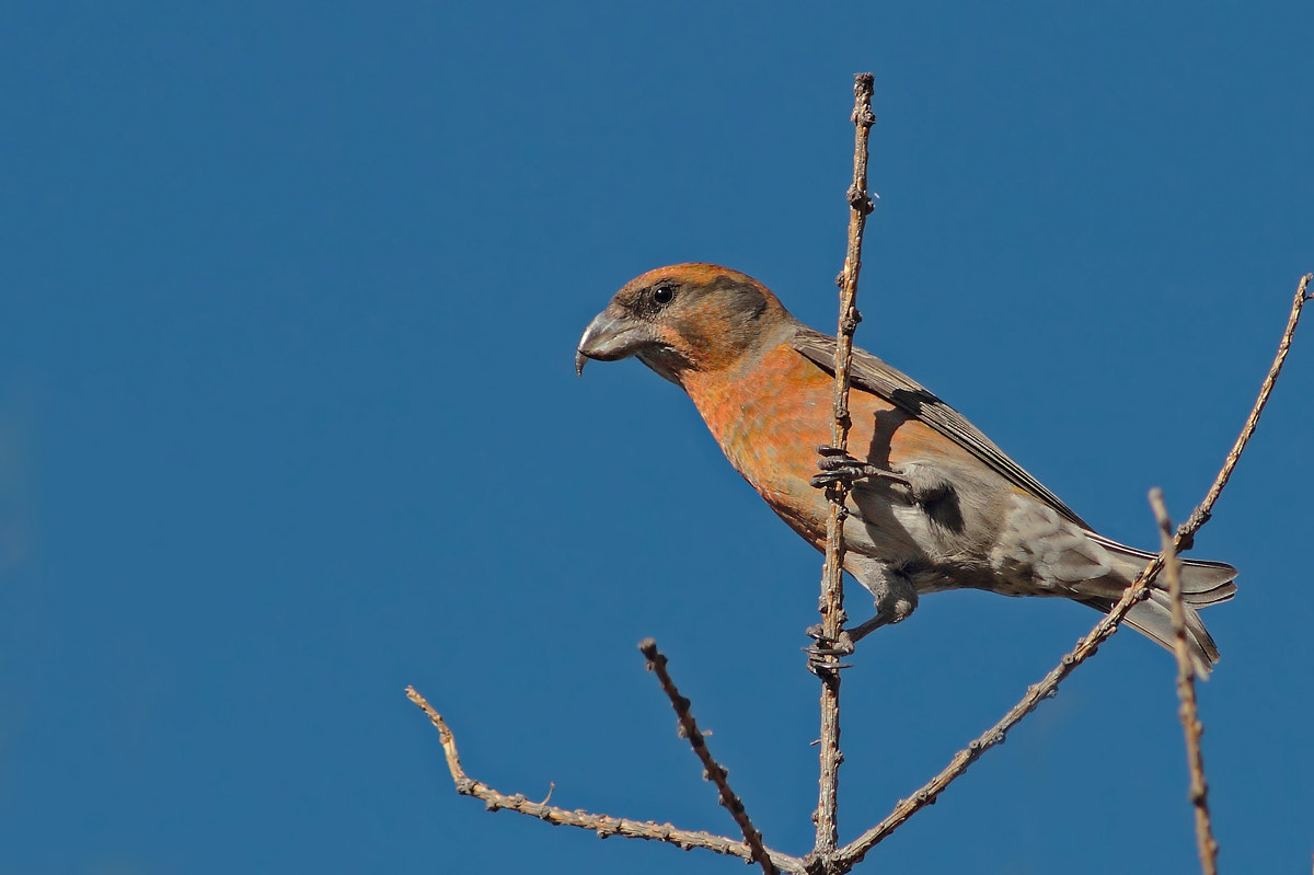 Photograph Common crossbill by Ivan Martini on 500px