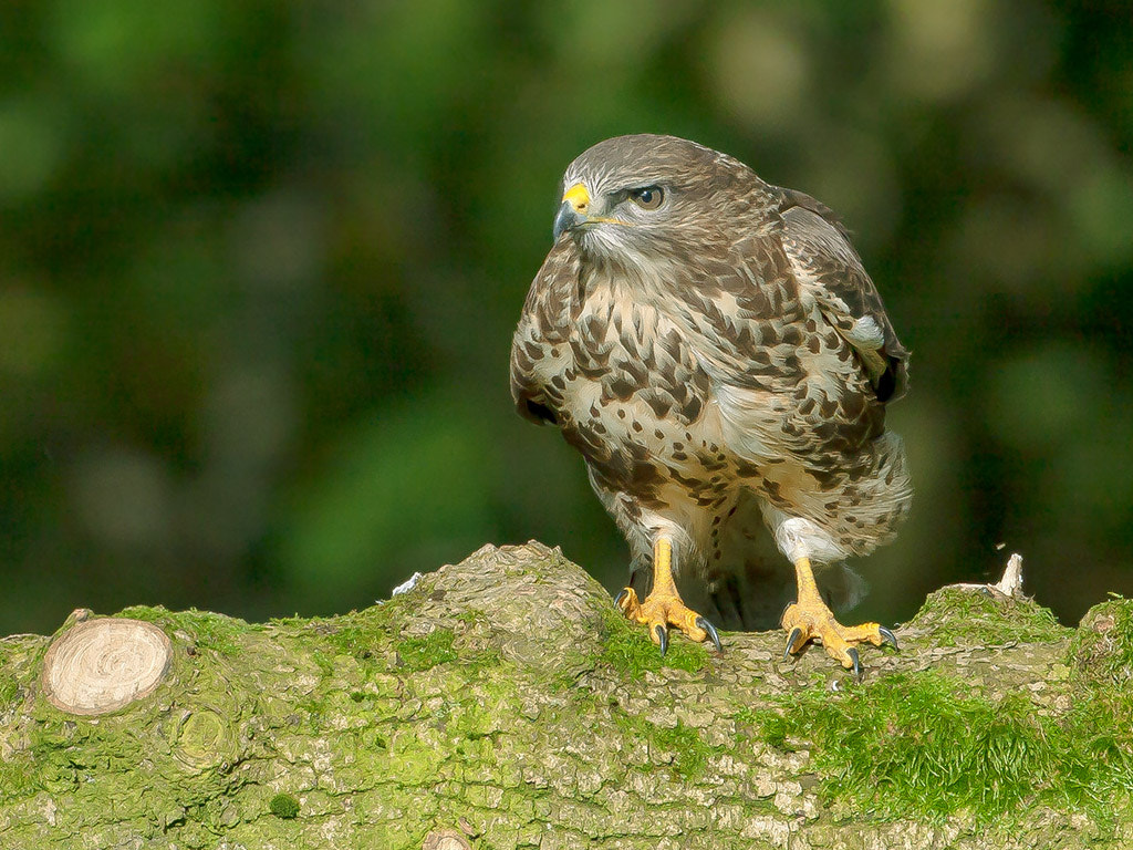Photograph Buzzard by TomMelton on 500px