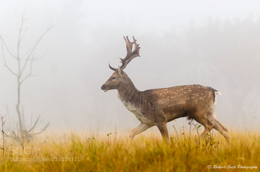 Photograph Fallow deer in the mist by Richard Guijt on 500px
