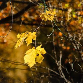 Leaves in sunlight by J-O Eriksson (joeriksson)) on 500px.com