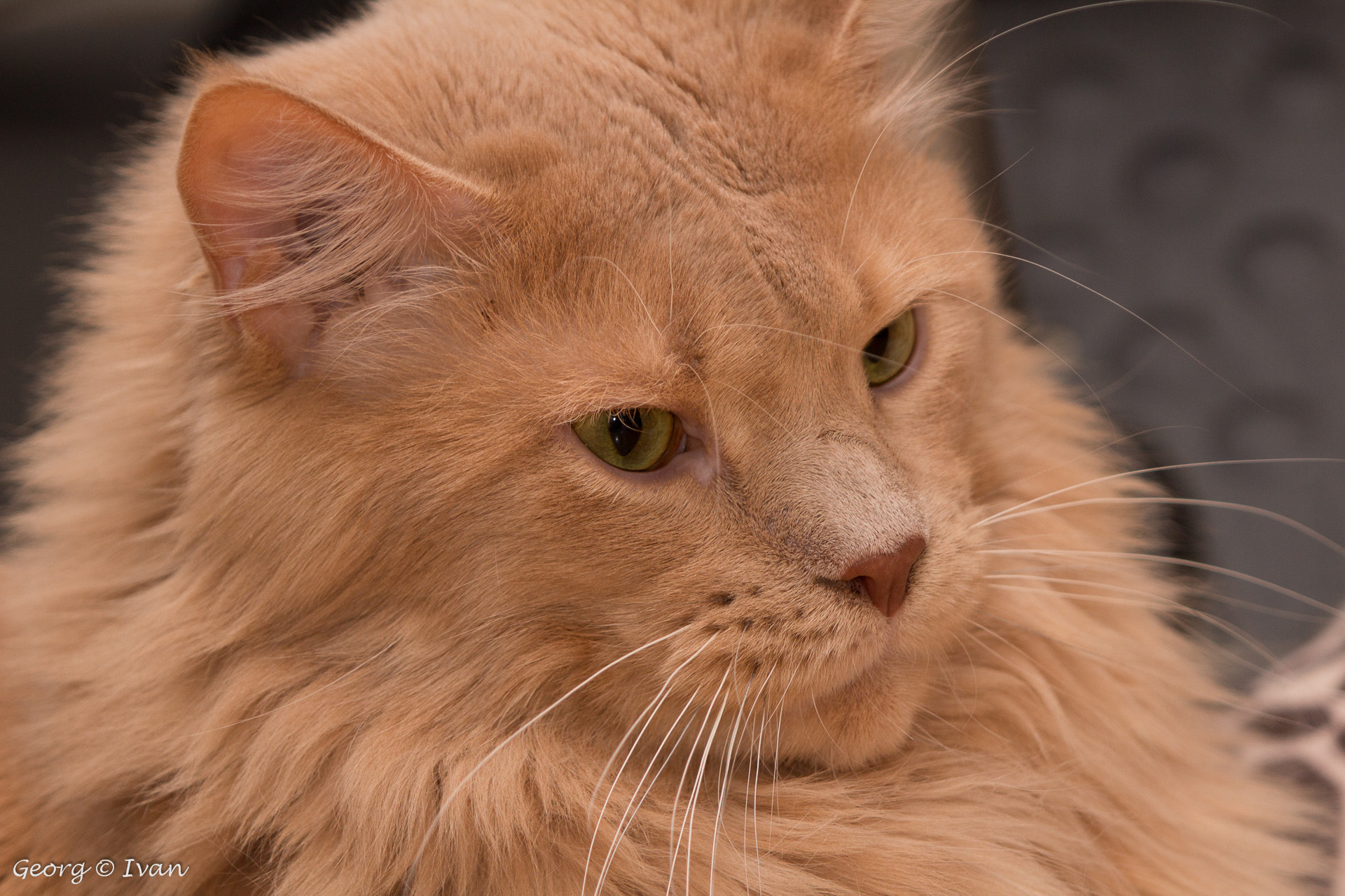 Photograph Xenios (Maine Coon) by Georg Ivan on 500px