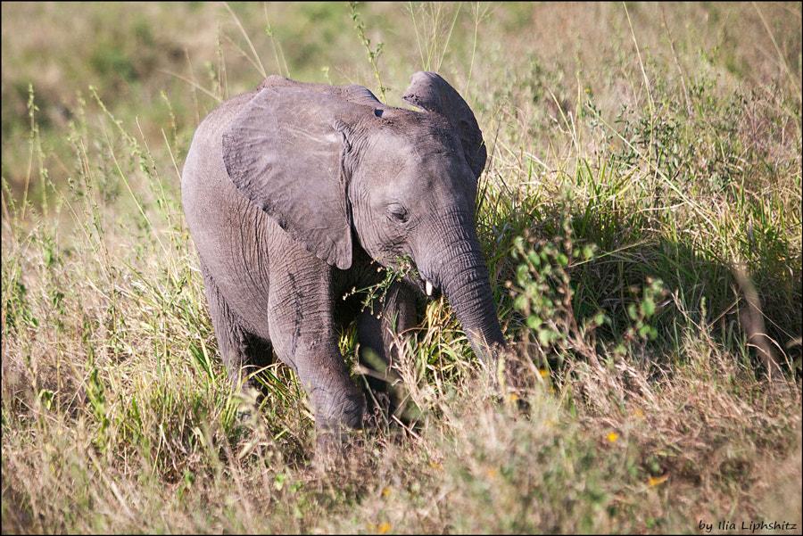 Elephants of Serengeti №2
