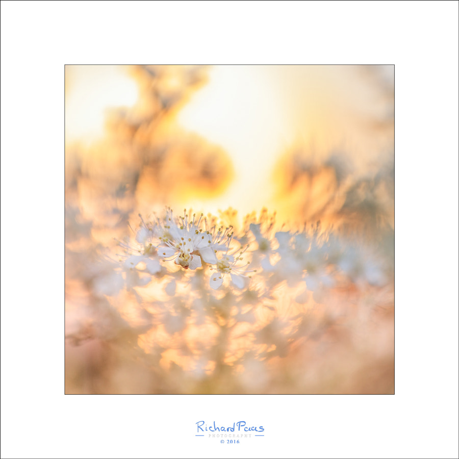 White Flower On Fire by Richard Paas on 500px.com