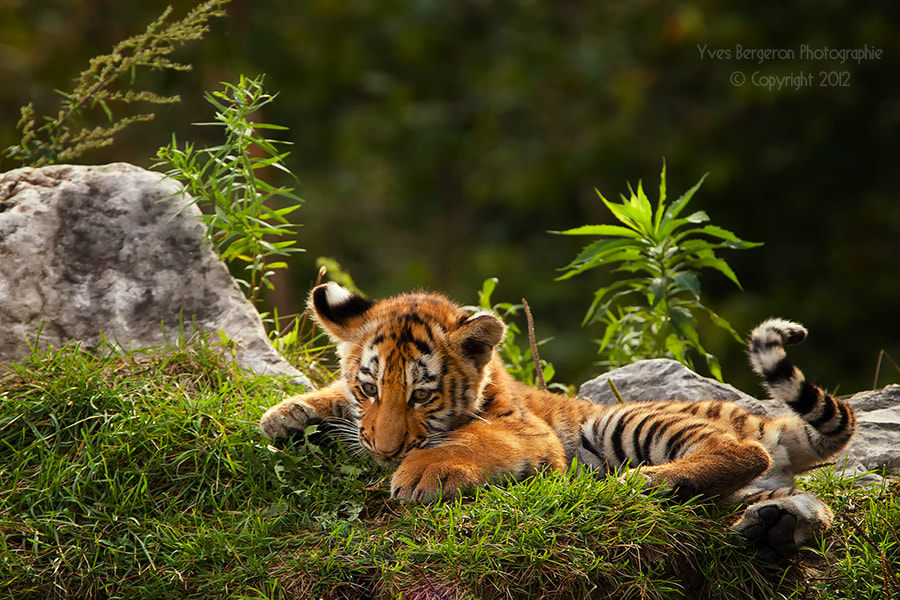 Photograph Baby Tiger  by Yves Bergeron on 500px