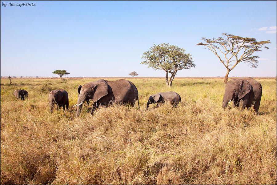 Elephants of Serengeti №3