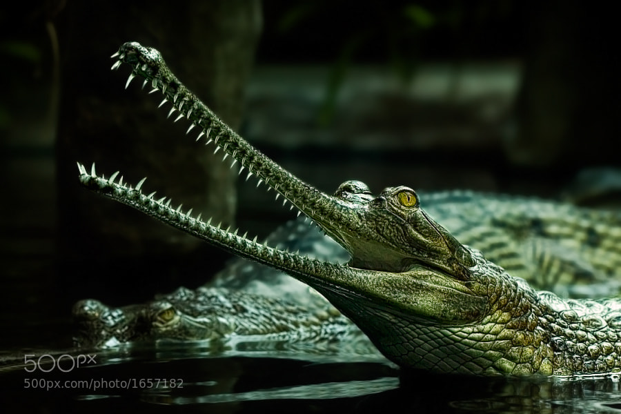 Photograph Gharial by Manuela Kulpa on 500px