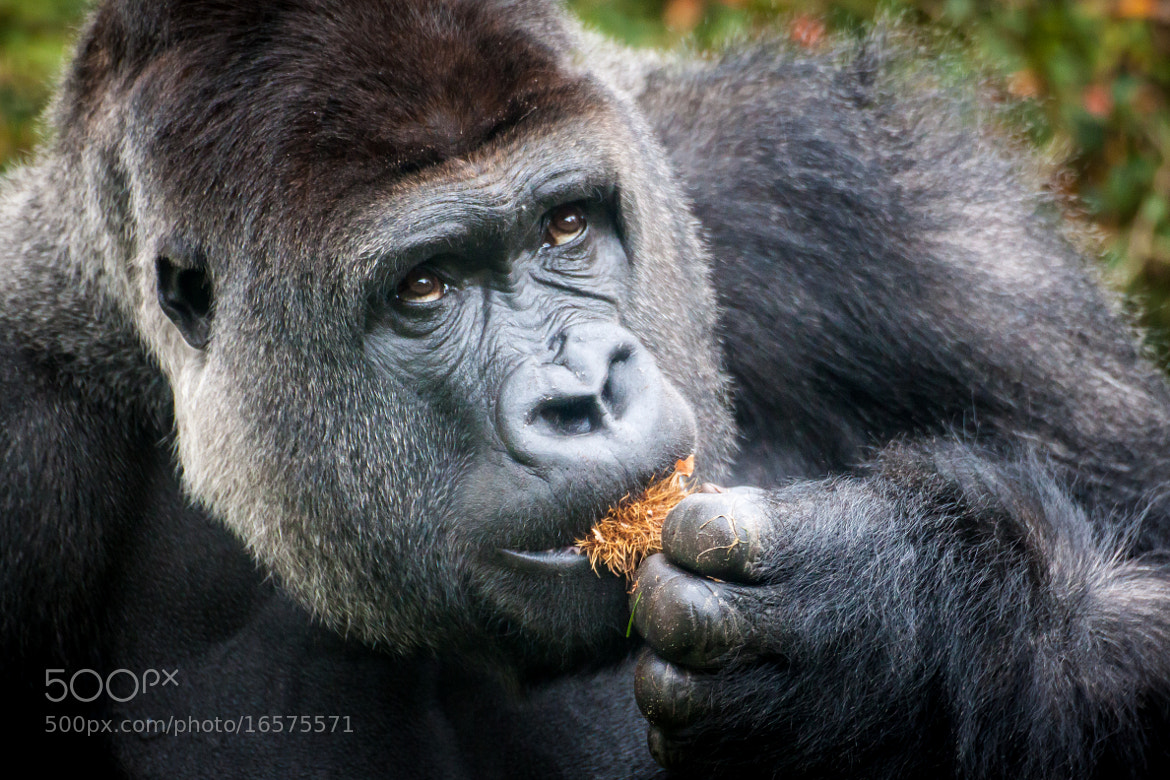 Photograph Gorilla by Frank Hazebroek on 500px
