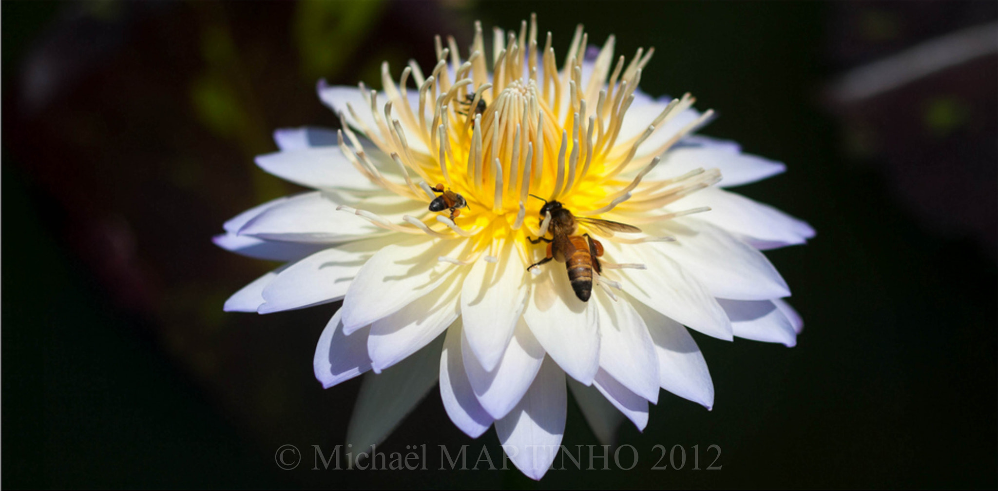 Photograph Bees and water lilly by Michaël Martinho on 500px