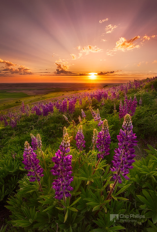 Photograph Palouse Lupine Rays by Chip Phillips on 500px