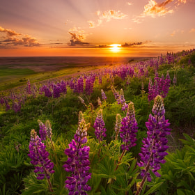 Palouse Lupine Rays by Chip Phillips (phillips_chip)) on 500px.com