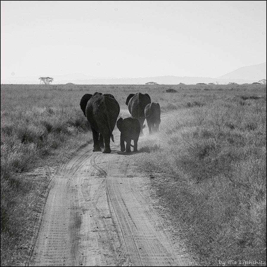 Elephants of Serengeti №4