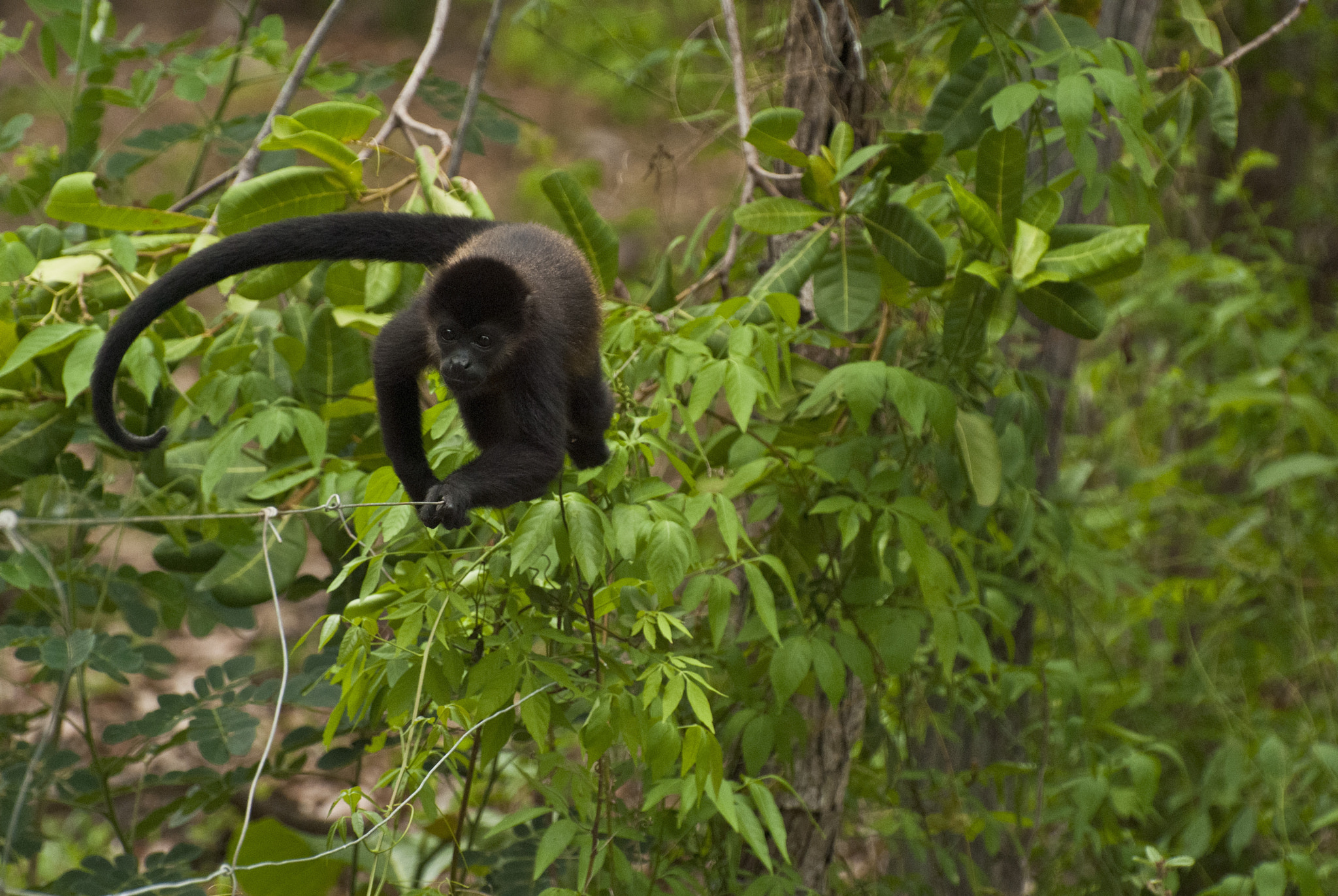 Photograph Tightrope Howler Monkey by Jordan Hoffman on 500px