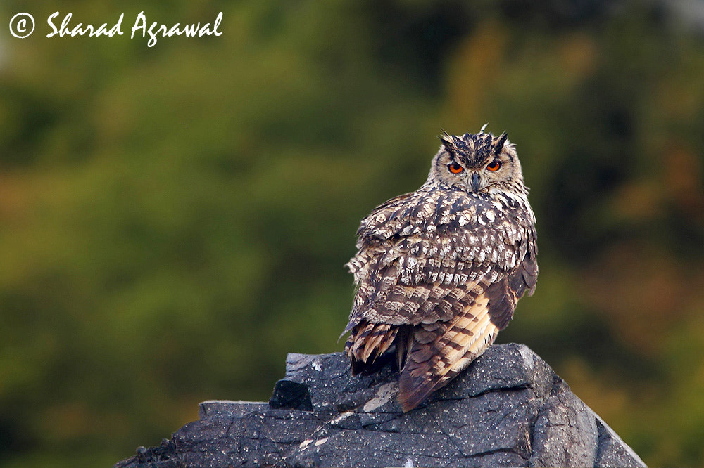 Photograph Great Horned Owl by Sharad Agrawal on 500px