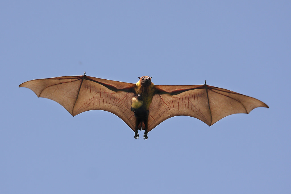 Photograph Greater Indian Fruit Bat With Its Kid In Flight  by Sharad Agrawal on 500px