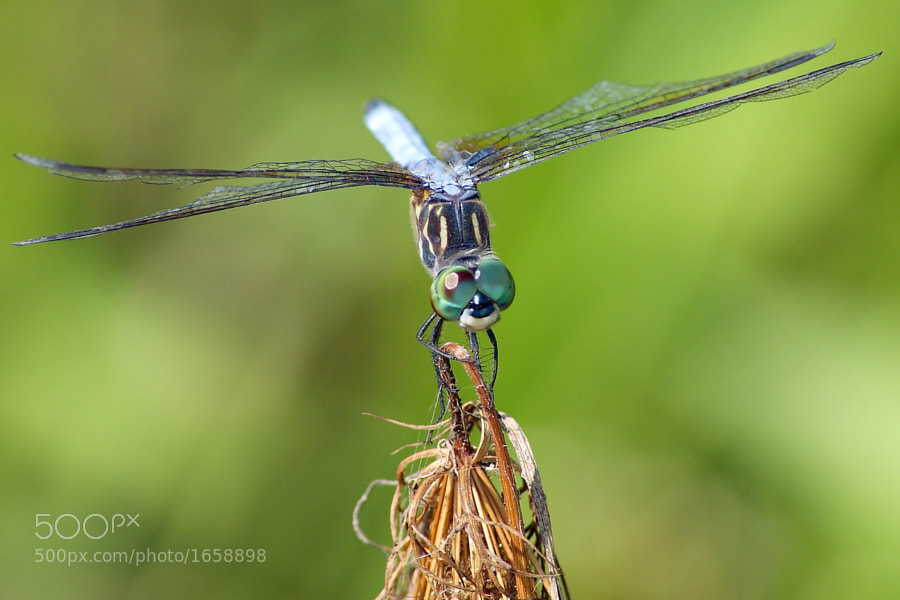 You'll eventually notice I really like dragonflies. :-)  This is a Blue Dasher.