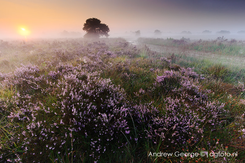 Photograph foggy flowering heather  by Andrew George on 500px